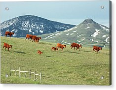 A Moving Herd Acrylic Print by Todd Klassy