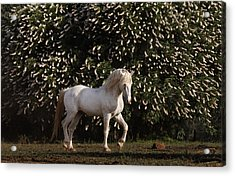 A Mustang Stallion In The Wild Horse Acrylic Print by Melissa Farlow