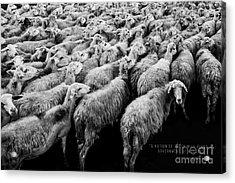 A Nation Of Sheep Acrylic Print