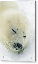 A  Newborn Harp Seal Pup In Its Thin Acrylic Print by Norbert Rosing