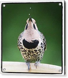 A Northern Flicker Blowing Bubbles At Acrylic Print by Heidi Hermes