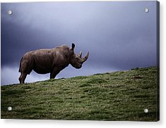 A Northern White Rhinoceros At The San Acrylic Print