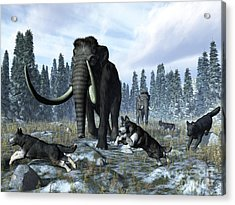 A Pack Of Dire Wolves Crosses Paths Acrylic Print by Walter Myers