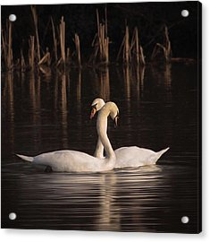 A Painting Of A Pair Of Mute Swans Acrylic Print by John Edwards