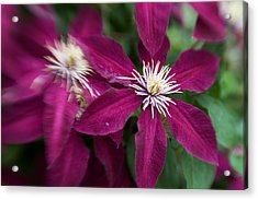 A Pair Of Clematis Flowers Acrylic Print by Sandy Belk