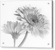 A Pair Of Daisies Acrylic Print by David and Carol Kelly
