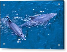 A Pair Of Dolphins Acrylic Print by Bill Perry