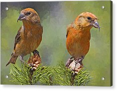 A Pair Of Male Red Crossbills - Painted Acrylic Print