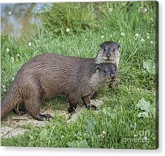 A Pair Of Otters Acrylic Print by Philip Pound