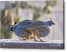 A Pair Of Quail Acrylic Print
