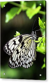 Acrylic Print featuring the photograph A Paper Kite Butterfly On A Leaf  by Saija Lehtonen