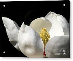A Peek Inside A Magnolia Acrylic Print by Sabrina L Ryan