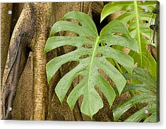 A Philodendron Grows On The Side Acrylic Print