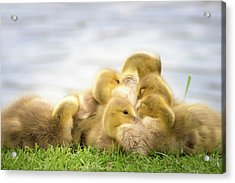 A Pile Of Goslings Acrylic Print