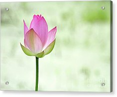 A Pink Lotus Acrylic Print by Sabrina L Ryan