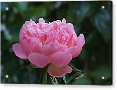 A Pink Peony Acrylic Print by Susan Heller