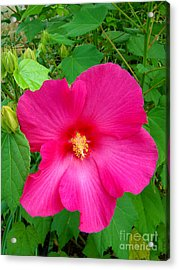 Acrylic Print featuring the photograph A Pink That Pops by Sue Melvin