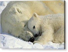 A Polar Bear And Her Cub Napping Acrylic Print