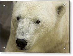 A Polar Bear At The Henry Doorly Zoo Acrylic Print by Joel Sartore