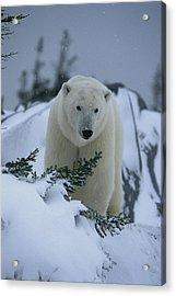 A Polar Bear In A Snowy, Twilit Acrylic Print