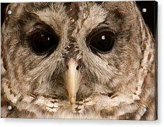 A Portrait Of A Barred Owl Strix Varia Acrylic Print by Joel Sartore