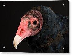 A Portrait Of A Turkey Vulture Acrylic Print by Joel Sartore