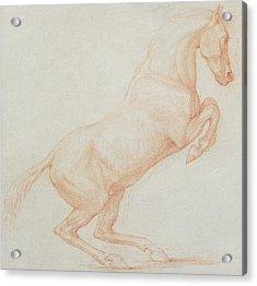 A Prancing Horse Acrylic Print
