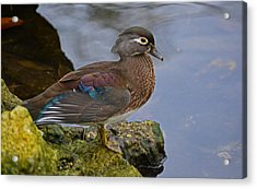 A Pretty Female Painted Wood Duck Acrylic Print