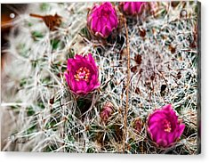 A Prickly Bed Acrylic Print by Christopher Holmes