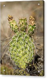 A Prickly Pear Cactus In Eastern Acrylic Print by Joel Sartore