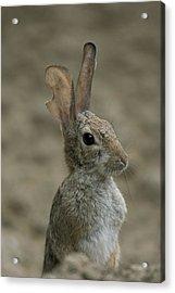 A Rabbit From The Omaha Zoo Acrylic Print by Joel Sartore