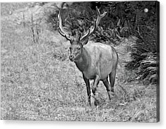 A Rack Of Antlers - Roosevelt Elk - Olympic National Park Wa Acrylic Print by Christine Till