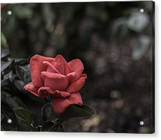 A Red Beauty Acrylic Print