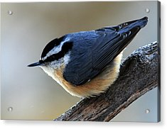 A Red-breasted Nuthatch Acrylic Print
