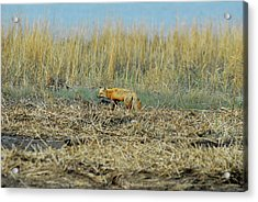 A Red Fox Hunting Acrylic Print