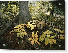 A Red Fox On Isle Royale In Lake Acrylic Print by Annie Griffiths
