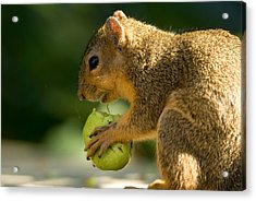 A Red Fox Squirrel Chews On A Walnut Acrylic Print by Joel Sartore