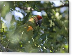 A Red-fronted Macaw At The Sedgwick Acrylic Print by Joel Sartore