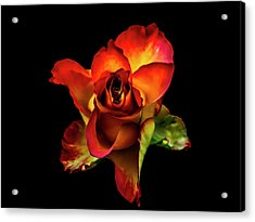 A Red Rose On Black Acrylic Print