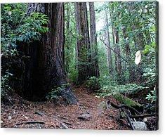 A Redwood Trail Acrylic Print by Ben Upham III