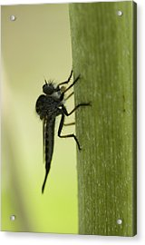 A Robber Fly Asilidae Rests On A Leaf Acrylic Print by Joel Sartore