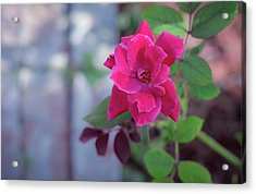 A Rose And A Hard Place Acrylic Print