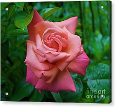 A Rose In Spring Acrylic Print