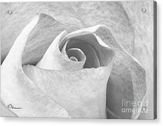 A Rose Is A Rose Black And White Floral Photo 753  Acrylic Print