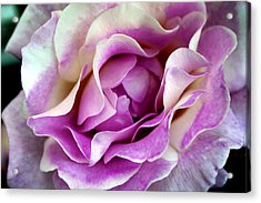 A Rose Is A Rose Acrylic Print by Evelyn Patrick