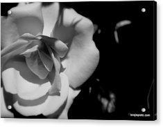 Acrylic Print featuring the photograph A Rose by Lois Lepisto
