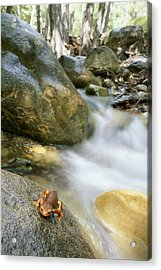 A Rough-skinned Newt Sits On A Rock Acrylic Print by Rich Reid