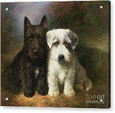 A Scottish And A Sealyham Terrier Acrylic Print by Lilian Cheviot