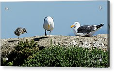 A Seagull Chick With Mom And Dad Acrylic Print