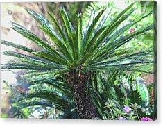 Acrylic Print featuring the photograph A Shady Palm Tree by Raphael Lopez